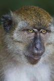 Macaco insolente Fotografia de Stock
