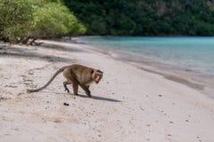 Macaco irritado Foto de Stock Royalty Free