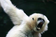 Macaco irritado Fotografia de Stock Royalty Free