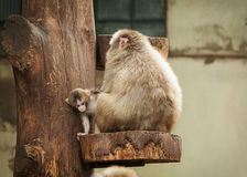 Macaco japonês Foto de Stock Royalty Free
