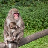 Macaco japonês Imagens de Stock Royalty Free