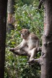 Macaco japonês Foto de Stock