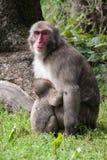 Macaco japonês Fotografia de Stock Royalty Free