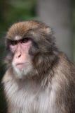Macaco japonês Fotos de Stock Royalty Free