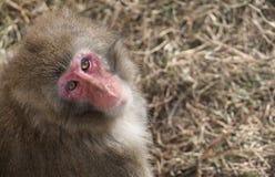 Macaco japonês da neve Imagens de Stock