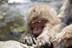 Macaco japonês da neve Fotos de Stock Royalty Free