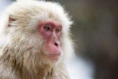 Macaco japonês da neve Fotografia de Stock