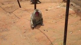Macaco Kyoto de Arashiyama video estoque