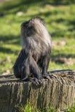 macaco Leone-munito Immagine Stock Libera da Diritti