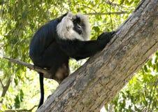 macaco Leone-munito che si siede su un ramo nello zoo Chandigarh Punjab di Chatver fotografie stock