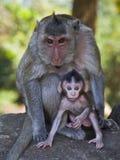 Macaco lungamente munito del bambino e della madre al Angkor Wat della Cambogia Fotografie Stock Libere da Diritti