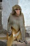 Macaco, macaque do Rhesus no templo de Swayambhunath. Nepal fotos de stock