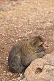 Macaco Marrocos Imagem de Stock Royalty Free