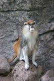 Macaco masculino de Patas Imagem de Stock