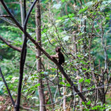 Macaco monkey baby in the natural forest Royalty Free Stock Photo