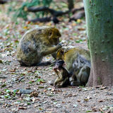 Macaco monkey baby in the natural forest Stock Photo
