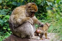 Macaco monkey baby in the natural forest Royalty Free Stock Images