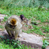 Macaco monkey baby in the natural forest Stock Photography