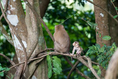 Macaco monkey baby in the natural forest, animal in nature Stock Image