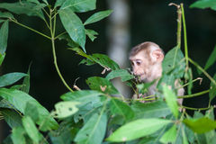 Macaco monkey baby in the natural forest, animal in nature Stock Photography