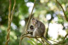 Macaco munito lungo femminile con la tenuta del suo bambino minuscolo Immagine Stock Libera da Diritti