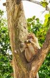 Macaco na árvore Fotos dos macacos que sentam-se em um ramo, um o fotografia de stock royalty free
