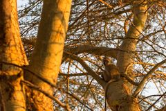 Macaco na árvore, Kenya Imagens de Stock