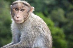 Macaco na borda da estrada indiana Imagens de Stock Royalty Free