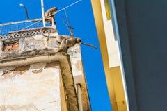 Macaco na cidade - os langurs saltam de uma construção à seguinte em Udaipur Foto de Stock