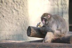 Macaco na construção, macaco Fotos de Stock