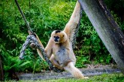 Macaco na corda Foto de Stock Royalty Free