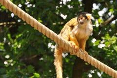 Macaco na corda Imagens de Stock Royalty Free