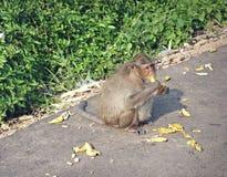 Macaco na estrada Foto de Stock