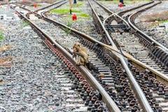 Macaco na estrada de ferro, Lopburi Tailândia Imagens de Stock Royalty Free