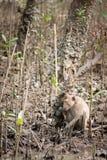 Macaco na floresta dos manguezais Imagem de Stock Royalty Free
