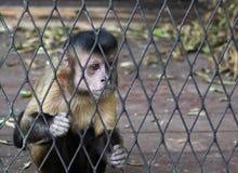 Macaco na gaiola Fotos de Stock Royalty Free