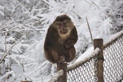 Macaco na neve Imagens de Stock Royalty Free