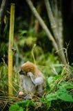 Macaco na selva Imagens de Stock