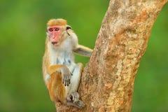 Macaco nell'habitat della natura, Sri Lanka Dettaglio della scimmia, scena della fauna selvatica dall'Asia Bello fondo della fore Fotografia Stock Libera da Diritti