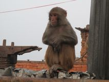Macaco no inverno fotos de stock