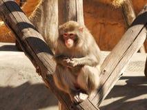 Macaco no jardim zoológico Fotos de Stock Royalty Free