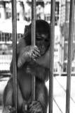 Macaco no jardim zoológico Imagem de Stock Royalty Free