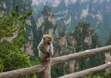 Macaco no parque natural das montanhas do Avatar de Tianzi - Wulingyuan China foto de stock