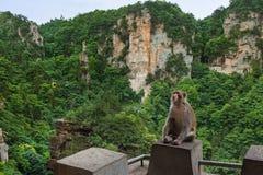 Macaco no parque natural das montanhas do Avatar de Tianzi - Wulingyuan China imagens de stock royalty free