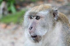 Macaco no songkhla Tailândia Fotos de Stock Royalty Free