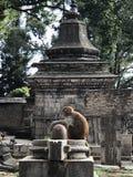 Macaco no templo Fotografia de Stock