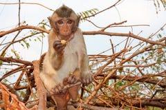 Macaco novo na árvore Fotografia de Stock