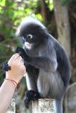 Macaco obscuro da folha Fotografia de Stock