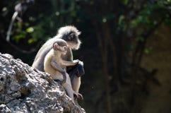 Macaco obscuro da folha Fotos de Stock