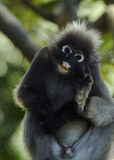 Macaco obscuro da folha (obscurus de Trachypithecus) Fotos de Stock Royalty Free